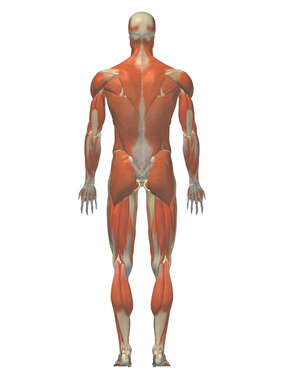 Anatomy of the Muscular System, 3D Posterior Male