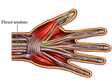 Flexor Tendons of the Fingers
