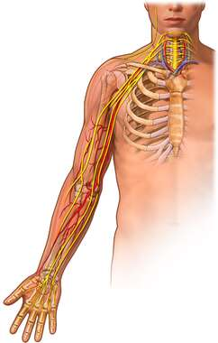 Upper Extremity: Anterior View