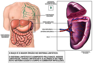 Anatomia do Baço