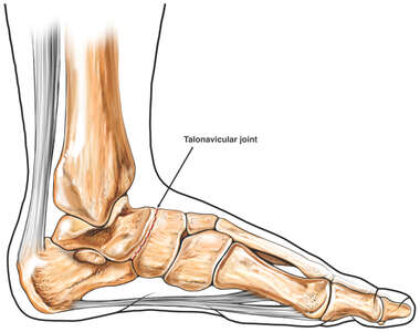 Ankle Anatomy:Talonavicular joint