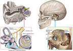 Nerve Supply (Innervation) of the Inner Ear
