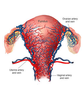 Blood Supply of the Uterus