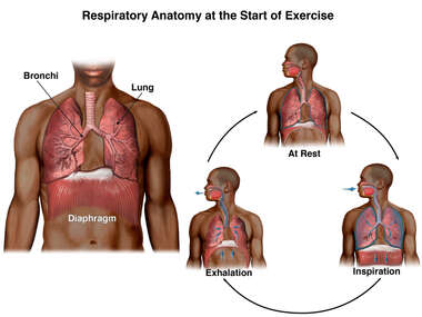 Respiratory Anatomy at the Start of Exercise