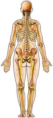 Skeleton and Nerves within Body Outline, Posterior View