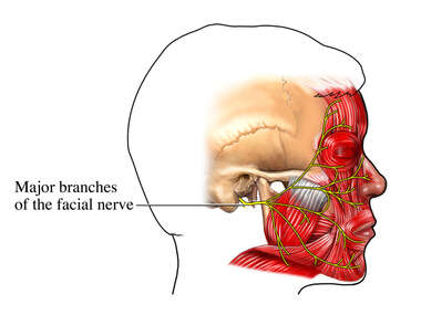 Facial Nerve Innervation