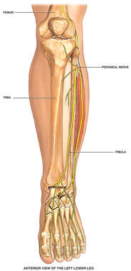 Anatomy of the Left Lower Leg