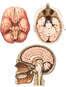 Normal Anatomy of the Brain and Cranium