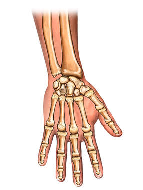 Bones of the Hand, Posterior View