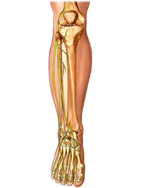 Fibular Nerve of Lower Leg