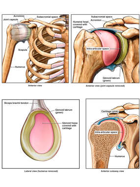 Anatomy of the Right Glenohumeral Joint