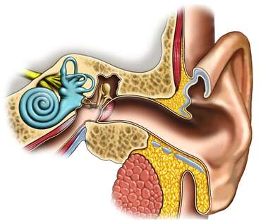 Anatomy of the Left Ear: Cross-Section