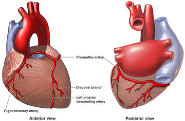 Anatomy of the Coronary Arteries