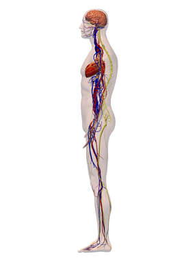 Lateral Male Circulatory, Nervous System - 3D