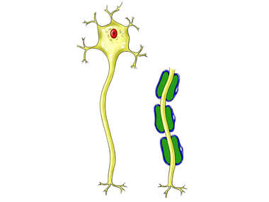 Normal Neuron with and without Schwann Cells