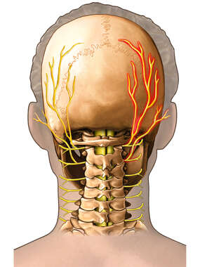 Nerve Innervation of the Head