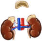 Anatomy of the Adrenal Glands