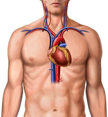 Male Torso with Heart and Great Vessels, Anterior View