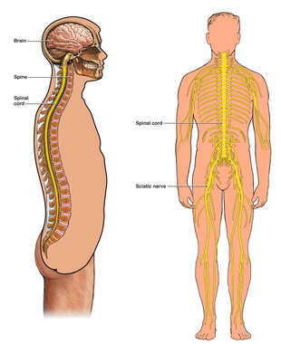Anatomy of the Spine and Spinal Cord