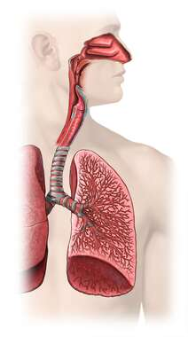 The Lungs: Anterior and Cut-away View