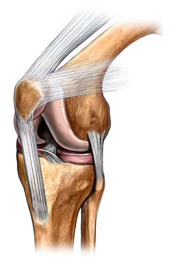 Knee Bones with Ligaments, Anterior/Lateral View