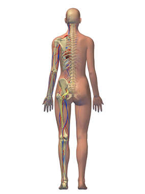 Female Figure with Nerves, Blood Vessels and Skeleton