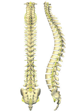 Vertebral Column with Spinal Nerves