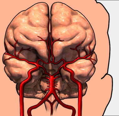 Brain with Arteries 3D, Anterior View