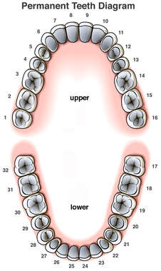Permanent (Adult) Teeth Diagram