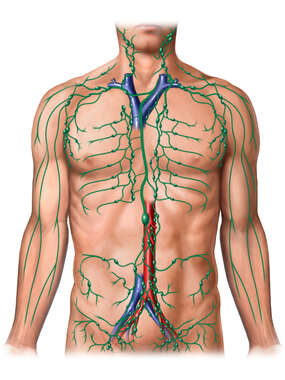 Male Torso with Lymphatic System