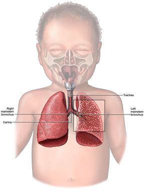 Respiratory System: Infant