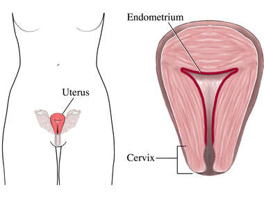 The Endometrium and Cervix
