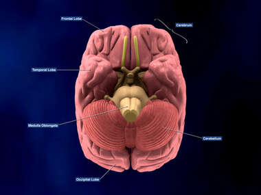 Inferior view of Brain with labels