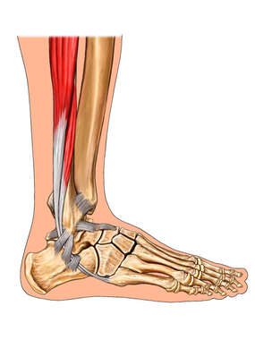Anatomy of the Ankle: Lateral View