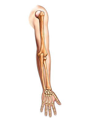 Arm, Forearm and Hand Outline with Bones, Posterior View