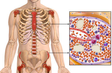 Location of Active Bone Marrow in an Adult