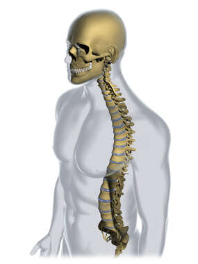 Male Figure Spinal Column