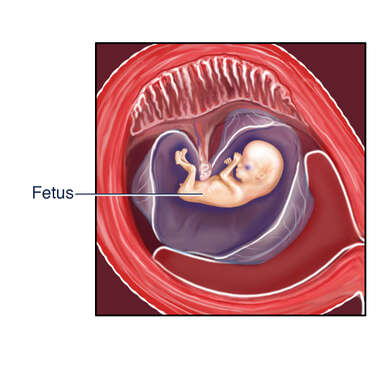 Fetus in Utero: Nine (9) Weeks