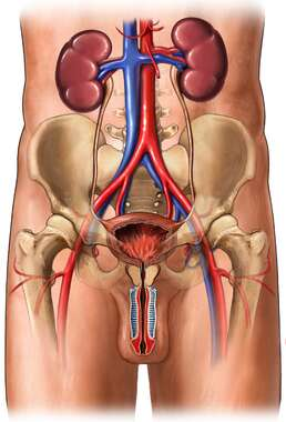 Male Genitourinary System with Blood Vessels