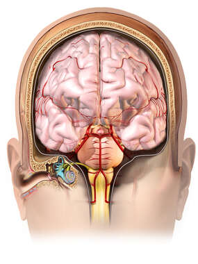Coronal Ear and Brain Anatomy