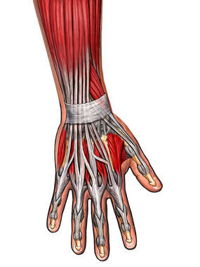 Dorsal Muscles of the Hand and Wrist