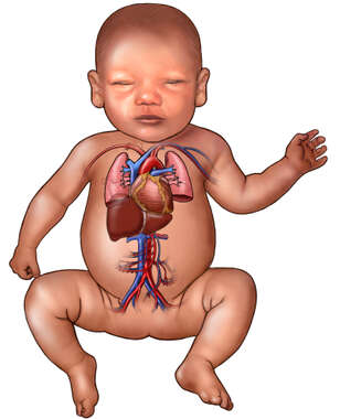 Baby with Heart, Lungs, and Liver: Anterior View