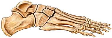 Bones of the Foot: Lateral View