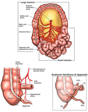 Anatomy and Vasculature of the Ileo-cecal Region