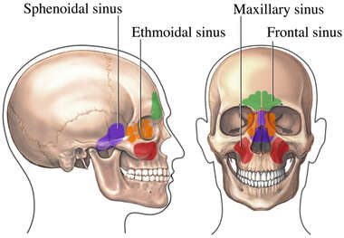 Paranasal Air Sinuses