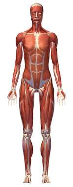 Anterior Female Muscular System