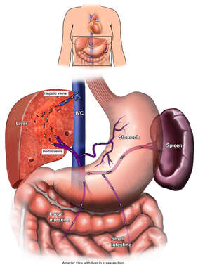 Hepatic and Portal Veins.