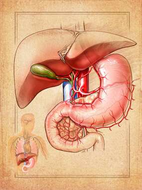 Anatomy of the Liver and Stomach