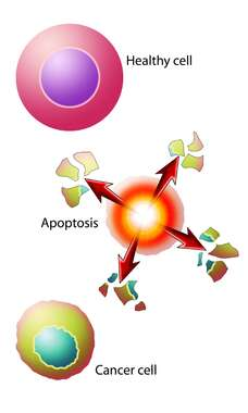 Normal Cancer Apoptosis