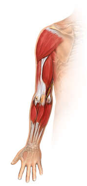 Post-operative View of the Muscles of the Arm